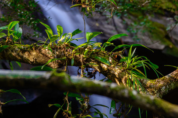 Epiphytic orchids Depending on tree.