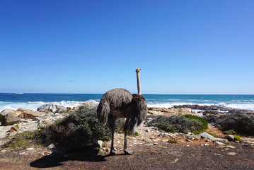Large Ostrich standing in front of the ocean
