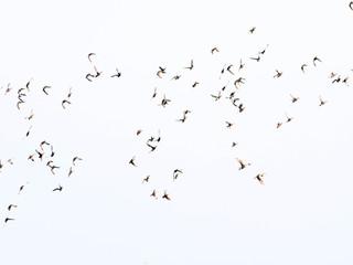 Ferruginous Pochard flying