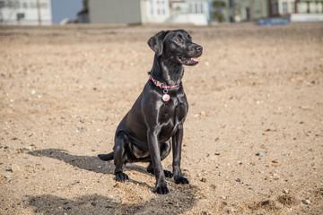 Pet Black Labrador Puppy on the Beach