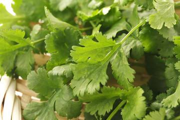 パクチー coriander