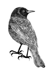 Drawing of bird trupial, black silhouette on white background.