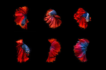 Beautiful Colourful Betta fish,Siamese fighting fish art collection