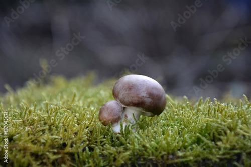 ein brauner champignon pilz agaricaceae auf gr nem moss. Black Bedroom Furniture Sets. Home Design Ideas
