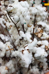 Cotton balls in a cotton plantation
