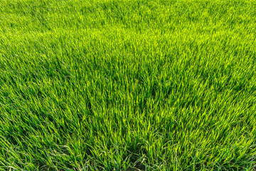 Background with green grass, texture, top view.