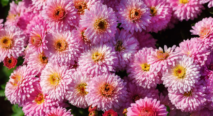 Many beautiful pink chrysanthemum flowers. flowers as background. Selective focus.