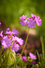 Wild Phlox wildflowers of Central, bright colors, Sunny day summer