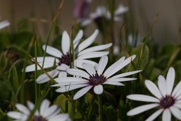 White Daisy, Hemanus