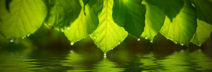 Panoramic view of green leafs with raindrop. Reflecting in water Wall mural