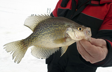 Fisherman holding a Crappie caught ice fishing