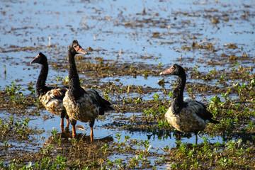 Family of Magpie goose at a billabong, Yellow Water, Kakadu National Park, Australia