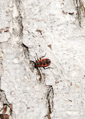 Bedbug-soldier on a tree trunk, red-black beetle. Whitening the bark of the old cracked wood for background and texture.