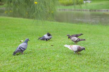 Birds (pigeon) in the grass field.