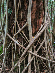 The roots of a fig tree are strangling a tree trunk in the rainforest, Cape Tribulation National Park, Queensland, Australia