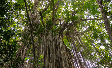 Majestic Curtain fig tree in the rainforest, Yungaburra, Atherton Tablelands, Queensland, Australia