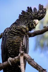 Close up if a Red tailed black cockatoo with a pretty crest perching on a branch, Paluma Range National Park, Queensland, Australia