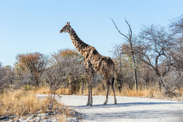Angolan giraffe (Giraffa camelopardalis) walking across the gravel road in savannah of Etosha national park, Namibia.