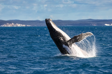 Humpback whale spy hopping, Hervey Bay, Queensland