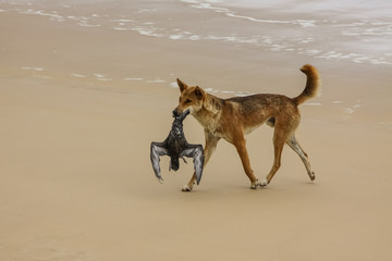 Australian dingo with its prey, a bulwers petrel at 75 mile beach, Fraser Island, Queensland, Australia