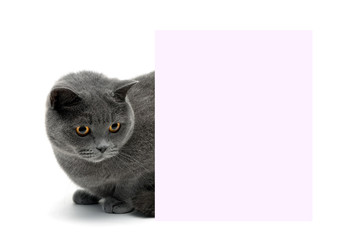 beautiful cat sitting behind a banner on a white background