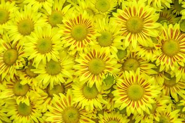 Yellow autumn chrysanthemum macro