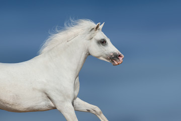 White beautiful pony portrait in motion against blue sky