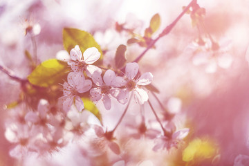 Blossoming cherry, flowering cherry. Close up. Spring solar background, photo wallpaper. Soft focus, toning