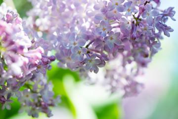 Fototapeta Lilacs obraz