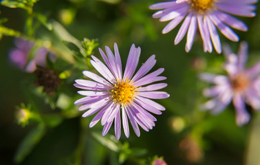 symmetrical light purple daisy chrysanthemum close-up warm summer day