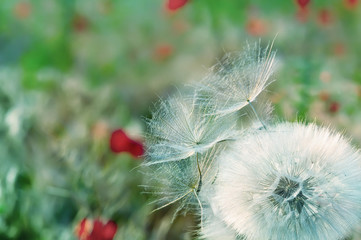 soft fluffy white dandelion fluff and small on a natural green background spring, summer meadows.
