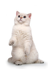 Funny curious white cat stretches on a white background.
