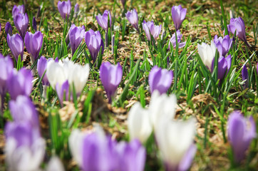 White and purple crocus flowers