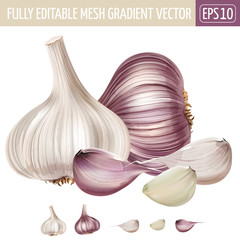 Garlic on white background. Vector illustration