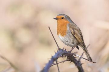 European Robin, Erithacus rubecula, Robin