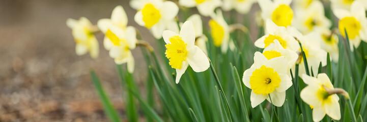 Narcissus blossom