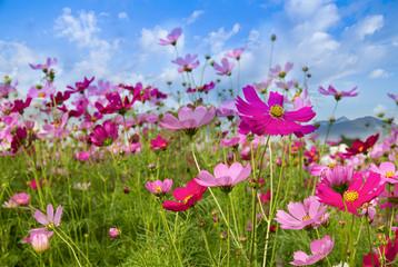 Cosmos Flower field on mountain background,spring season flowers