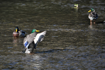 Along with other wild duck swims in a river, swinging wings