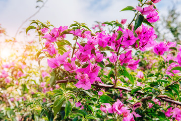 Beautiful Pink Flowers. Beauty world. Italy. Europe