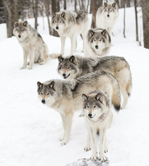 Timber wolves or Grey Wolf  pack waiting to be fed in winter in Canada