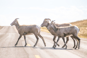 Small group of goats crossing highway on sunny day