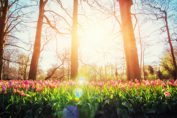 sunlight through red tulips field. Holland