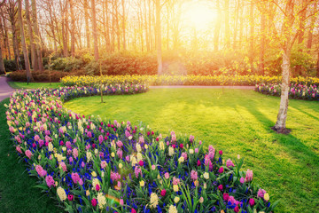 Group of beautiful multicolored hyacinths sunlight through red tulips. Holland