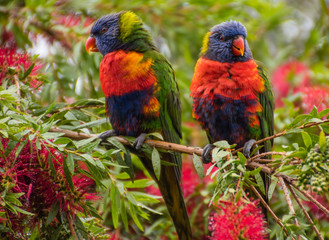 Rainbow Lorikeets & Bottlebrush in springtime
