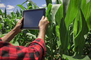 Farmer using digital tablet computer, cultivated corn plantation in background. Modern technology application in agricultural growing activity concept Image.