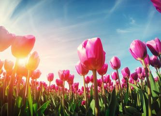 Fotobehang Tulp sunlight through red tulips field. Beauty world. Europe