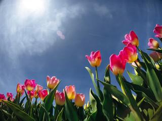 sunlight through red tulips field