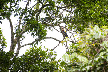 Papuan Hornbill in Manusela National Park, Indonesia. A wild Papuan Hornbill seen in Manusela National Park on the island of Seram in the Raja Ampat area of West Papua, Indonesia.