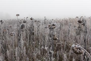 Gefrorenes Feld mit Sonnenblumen Fotoväggar