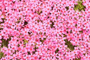 芝桜 シバザクラ